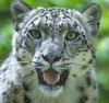 Happy-looking Snow Leopard (Panthera uncia) (Wade Tregaskis) Tags: ounce pantherauncia snowleopard foliage mouthopen portrait teeth tongue