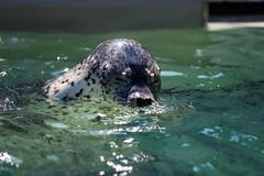 Sneeze (moaan) Tags: kobe hyogo japan jp animal seal spottedseal watertank aquarium aqualife sumaaqualifepark water surface focusonforeground selectivefocus depthoffield dof bokeh bokehphotography canoneos5dsr ef70200mmf28lisiiusm utata 2018 sneeze sneezing