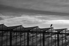 waiting hero...n (Wöwwesch) Tags: heron greenhouses dutch netherlands blackwhite silence interesting waiting looking for glas sky morning