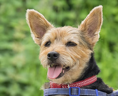 Toto on green (ORIONSM) Tags: dog pet cairn yorkshire terrier portrait face nature animal olympus omdem1 olympus14150mm