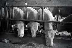 3 GRAZIE (alice 240) Tags: blackwhitepassionaward piemonte europe italy europa nikon flickr animals blackwhite larcadinoe magic monochrome dream poetry travel cinema film nationalgeographic ngc tre grazie tregrazie