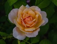 Grace rose (frankmh) Tags: plant flower rose gracerose sofiero helsingborg skåne sweden macro