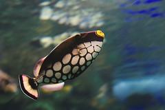 IMG_8837 (giltay) Tags: takumarsmc55mmf18 fish