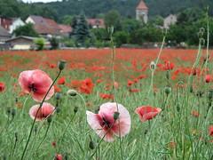 IMG_6605 (germancute) Tags: nature outdoor thuringia thüringen landscape landschaft germany germancute deutschland wildflower flower blume green grün greens