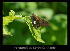 Silver-spotted Skipper (8262) (fbc57) Tags: sigma180f28apomacroexdgos nikond850 vermont bristol beavercreek dicotskippers eudaminae hesperiidae lepidoptera hodges3870 skippers butterflies epargyreusclarus silverspottedskipper