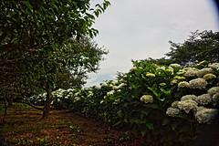 Mount Fuji and Hydrangea (ULTRA Tama) Tags: mtfuji mtfujiwhc japan shizuoka fuji todays dayliphoto instadaily photogenic igjapan loversnippon worldcaptures flickrfriday welovef june 2018 hydrangea iwamoto mountain park flower worldheritage tabijyo genicmag retripjapan retripshizuoka explorejapan traveljapan radiof artofimages ftimes genictravel geniclife genicblue genicjapan genicphoto genictown genicsummer tabijyosummer tabijyomaptwn tabijyotravel