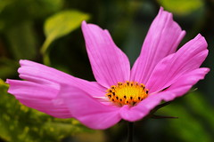 Cosmos (Mike.Dales) Tags: cosmos flower macro canon50mmf18stm fauna northyorkshire