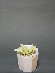 20180616_ガステリア_春鶯囀錦 (夏アユミ (NATSU, Ayumi)) Tags: 植物 多肉植物 ガステリア succulent gasteria