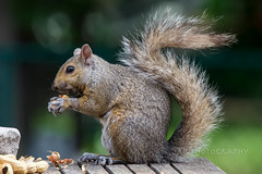 Makin' A Mess (jah32) Tags: grey gray squirrels squirrel mammals rodents lunch tabletop table onthetable inmybackyard onthedeck communityinmybackyard bokeh