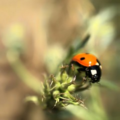 Shiraz, Iran (nimamalek) Tags: شیراز ایران fresh life dreamy dream girl little tiny gorgeous relax mood lonely alone lovely love lady bug cute snapseed iphone8plus iphone8 iphone10 iphonex iphoneography mobilegraphy iphone appleiphone shotoniphone naturelovers nature macrography closeup macroshot macro plant grass green red ladybird ladybug insect shiraz iran