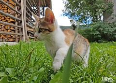 Kitten @ Stara Fuzina (morbidtibor) Tags: cat kat kater poes kitten pussycat slovenia starafuzina