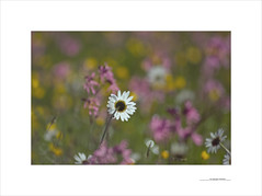 Los paisajes mínimos (E. Pardo) Tags: paisajesmínimos flores flowers blumen colores colors farben formas formen forms luz licht light steiermark austria pradera wiese meadow