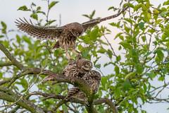 Project 2018 (eric-d at gmx.net) Tags: littleowl athenenoctua steinkauz eric strigidae ngc eule owl kauz wildlife birds vogel greifvogel birdofprey