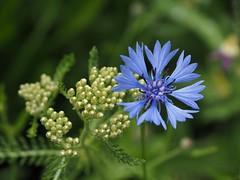 Flowerpower (M_Strasser) Tags: lausanne schweiz switzerland suisse svizzera olympusomdem1 olympus kornblume cornflower