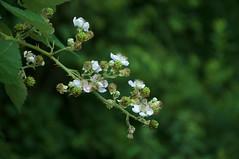 Berries To Be (Dan Daniels) Tags: flowers bushes berries blackberry brombeer audand nikon riehenbsch switzerland closeups