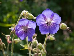 Meadow Cranesbill 01 jun 18 (Shaun the grime lover) Tags: warrington flower summer geranium meadow cranesbill colour color purple cheshire stocktonheath transpennine trail