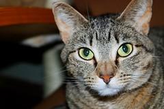 Haleigh (burkholzolivia) Tags: pet female feline photo first firstphoto portrait cateye red green greeneyes eyes tabby cat