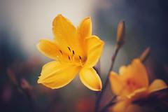 gramophone (christian mu) Tags: flowers bokeh nature botanicalgarden botanischergarten germany münster muenster schlossgarten 9028g 9028 90mm macro christianmu sony sonya7riii sonya7rm3