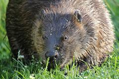 Portrait of Mama (Photocatvan) Tags: vancouver vancity hingepark olympicvillagebeavers falsecreek urbannature urbanwildlife beaver portrait