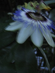 passion flower, first thursday