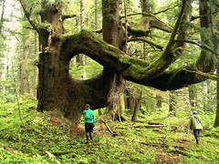 Large Tree, Southeast Alaska