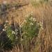 Field of Milkweed