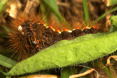 "Knotgrass Caterpillar (acronicta rumi(1) • <a style=""font-size:0.8em;"" href=""http://www.flickr.com/photos/57024565@N00/210937733/"" target=""_blank"">View on Flickr</a>"