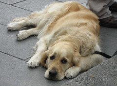 Dog on the street (Isobel T) Tags: dog cute animal puppy eyes labrador sweet expression doggy canondigitalixus60