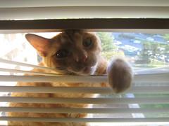 Dumb (demerson) Tags: orange white cat dumb blinds meow keykey rudyt