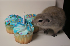 Nibbler Says Happy Birthday, Too! (cdw9) Tags: birthday canon fire squirrel candle cupcake frosting nibbler northlake richardsonsgroundsquirrel cdw9 img004287