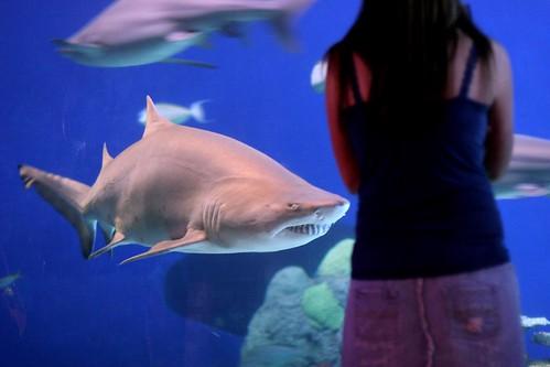 Sand Shark at Downtown Denver Aquarium, USA
