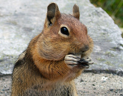 Cascade Golden-Mantled Ground Squirrel (shesnuckinfuts) Tags: animal squirrel quality wildlife furryfriday animalplanet groundsquirrel mtrainiernationalpark august2006 saywa experiencewa animaladdiction specanimal animalkingdomelite abigfave shesnuckinfuts spermophilussaturatus specanimaliconoftheweek