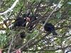 Squabbling Tuis (sitharus) Tags: newzealand bird raw wellington e300 tui