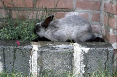Rabbit (ksvrbrg) Tags: rabbit konijn