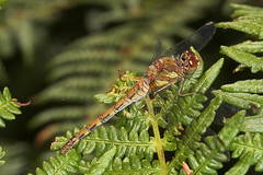 "Common Darter (Sympetrum striolatum) (6) • <a style=""font-size:0.8em;"" href=""http://www.flickr.com/photos/57024565@N00/229896475/"" target=""_blank"">View on Flickr</a>"