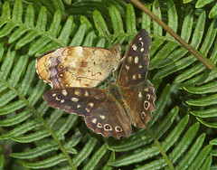 """Speckled Wood Butterfly (Pararge aege(3) • <a style=""""font-size:0.8em;"""" href=""""http://www.flickr.com/photos/57024565@N00/230021891/"""" target=""""_blank"""">View on Flickr</a>"""