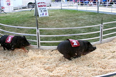 pig races by radiospike
