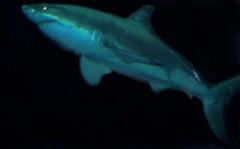 mba shark monterey greatwhiteshark monterybayaquarium