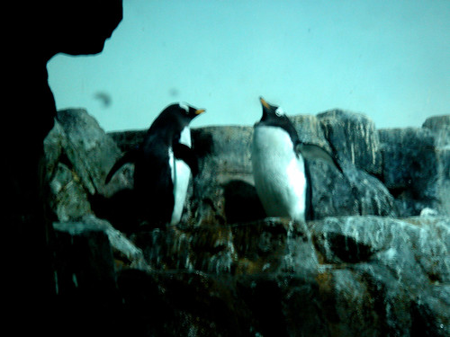 central park zoo penguins. Central Park Zoo Penguins