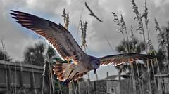 Gentle Hunter (micah_J) Tags: ocean sea bird beach sc nature seagull southcarolina atlantic charleston