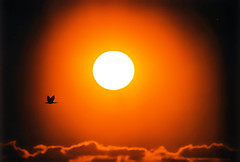 sunny bird (hobbesken) Tags: sunset orange sun bird silhouette yellow clouds australia perth om 600mm