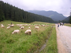 P8121678 - sheep in the Tatra Mountains (*CezCze* (off-line)) Tags: 2005 geotagged award poland polska cc tatry dolinakocieliska everydayissunday comunidadfotoguiaorg