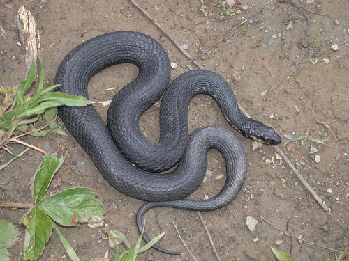 Perfect Pelee Island Field Trip (2002): Melanistic Garter Snake