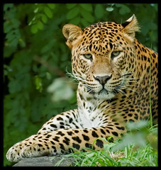 great look.... (bianca dijck) Tags: holland beautiful animal animals zoo bravo earth panther emmen panter noorder dierenpark naturesfinest expressie supershot specanimal animalkingdomelite mywinners abigfave qemdfinchadminfave vosplusbellesphotos flickrbigcats