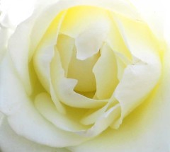 Wedding Rose (Heaven`s Gate (John)) Tags: wedding white flower color colour nature beautiful rose yellow wow ilovenature soft cream delicate weddingrose johndalkin heavensgatejohn richardandvictoriamcguire