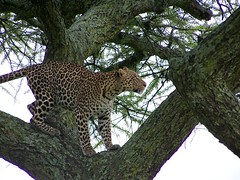 Leopard in Serengeti (geoftheref) Tags: world africa travel wild tree heritage nature animal animals cat de tanzania la site interestingness interesting feline flickr african wildlife unesco safari leopard mara afrika serengeti masai maasai sites  frica tanzanie lafrique tanznia cc100  specanimal animalkingdomelite geoftheref dellafrica   afrikasafari
