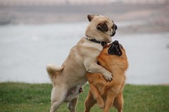DSC_0060 (CMAC.) Tags: china dogs pug pugs qingdao humping gaydogs funnydogs dogsex