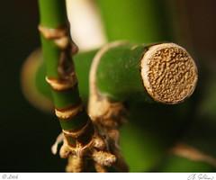 bamboo (pixability) Tags: macro bamboo allrightsreserved pixability bgoldman macroflora