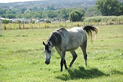 Maria Sultana (Saveena (AKA LHDugger)) Tags: vacation horse newmexico green nature animal fauna female 1025fav ilovenature grey mare all aztec outdoor no gray lisa any h pasture rights form arabian written nm ungulate without usage reserved equine dapple equus allowed consent equidae equuscaballus dugger quadruped herbivorous  ljomi saveena