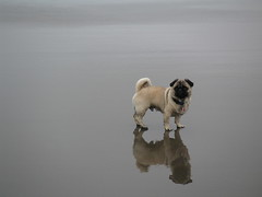 A Pug Above, a Pug Below (Dunechaser) Tags: dog pets cute beach dogs animals pug  pugs    canines pugsly